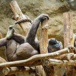 Menschenaffen im Leipziger Zoo
