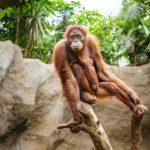 Orang-Utan im Leipziger Zoo