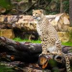 Leopard im Leipziger Zoo