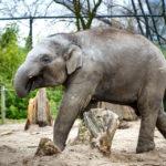Ein junger Elefant im Tiergarten von Rotterdam (Diergaarde Blijdorp)