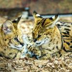 Buschkatzen im Tiergarten von Rotterdam (Diergaarde Blijdorp)