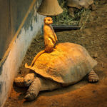 Ein Erdmännchen sonnt sich auf einer Riesenschildkröte im Tiergarten von Rotterdam (Diergaarde Blijdorp)