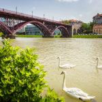 Schwäne vor der Brücke über die Drau in Maribor