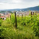 Blick vom Stadthügel Piramida (Pyramidenberg) durch Weinreben auf Maribor