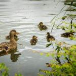Enten im zweiten der Drei Teiche im Stadtpark von Maribor