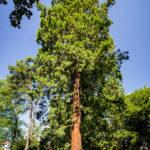 Mammutbaum im Stadtpark von Maribor