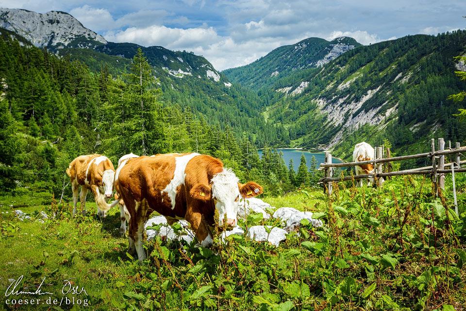 Steirersee und Kühe am 6-Seen-Wanderweg auf der Tauplitzalm