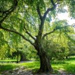 Ein alter Baum im Tivoli-Park in Ljubljana