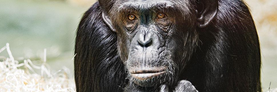 Ein Schimpanse im Zoologischen Garten Berlin