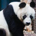 Ein Großer Panda im Zoologischen Garten Berlin