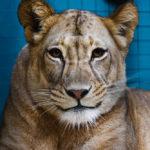 Eine Löwin im Zoologischen Garten Berlin
