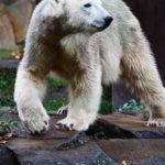 Ein Eisbär im Zoologischen Garten Berlin