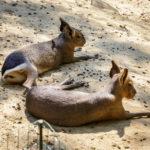Zwei Große Maras im Zoo von Linz
