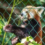 Roter Panda im Zoo von Linz