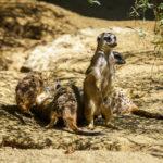 Erdmännchen im Zoo von Linz