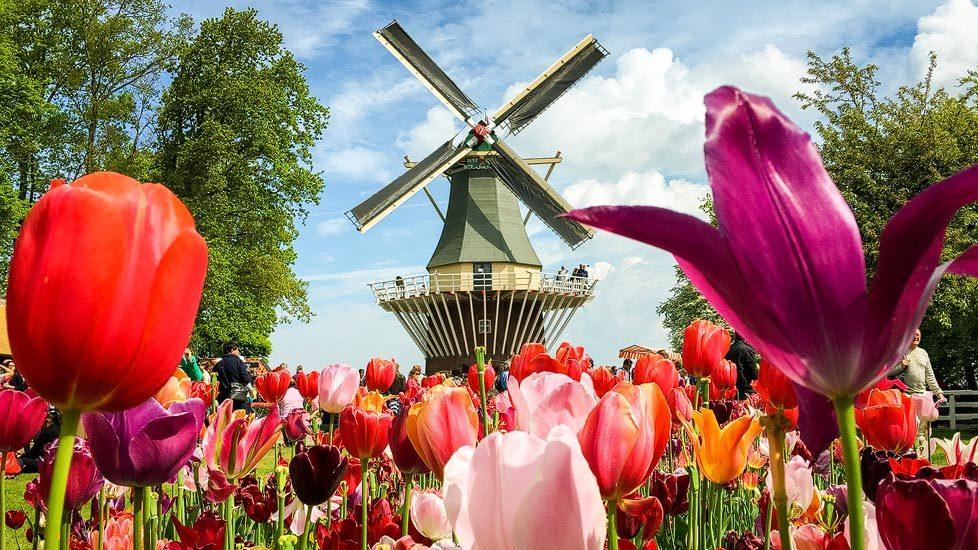 Windmühle zwischen einem Tulpenfeld in Keukenhof