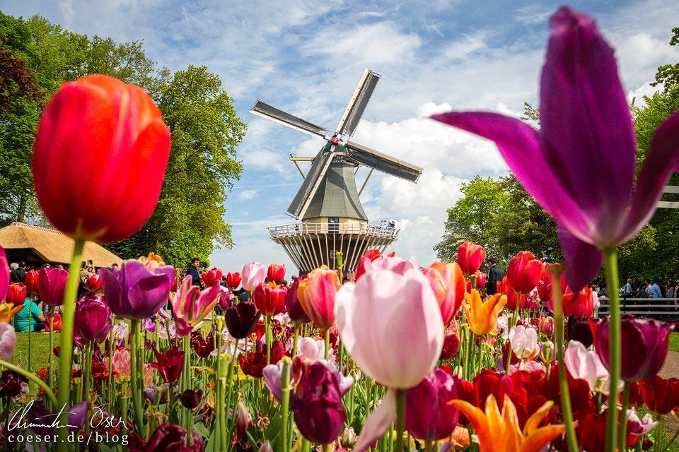 Windmühle zwischen Tulpen in Keukenhof