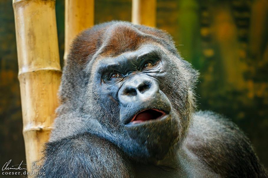 Gorilla im Lincoln Park Zoo von Chicago