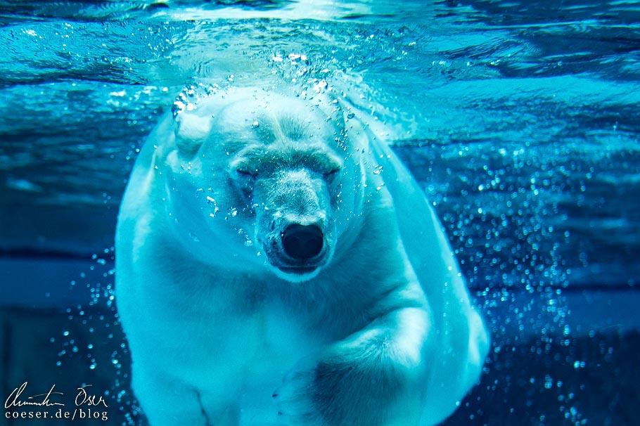 Eisbär im Lincoln Park Zoo von Chicago