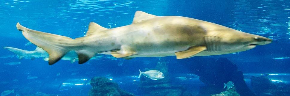 Haifisch im Aquarium in Barcelona