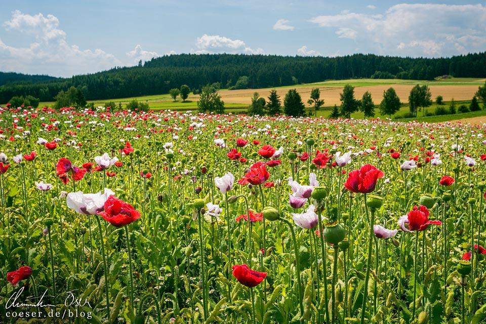 Mohnblütenmeer auf den Mohnfeldern rund um das Mohndorf Armschlag