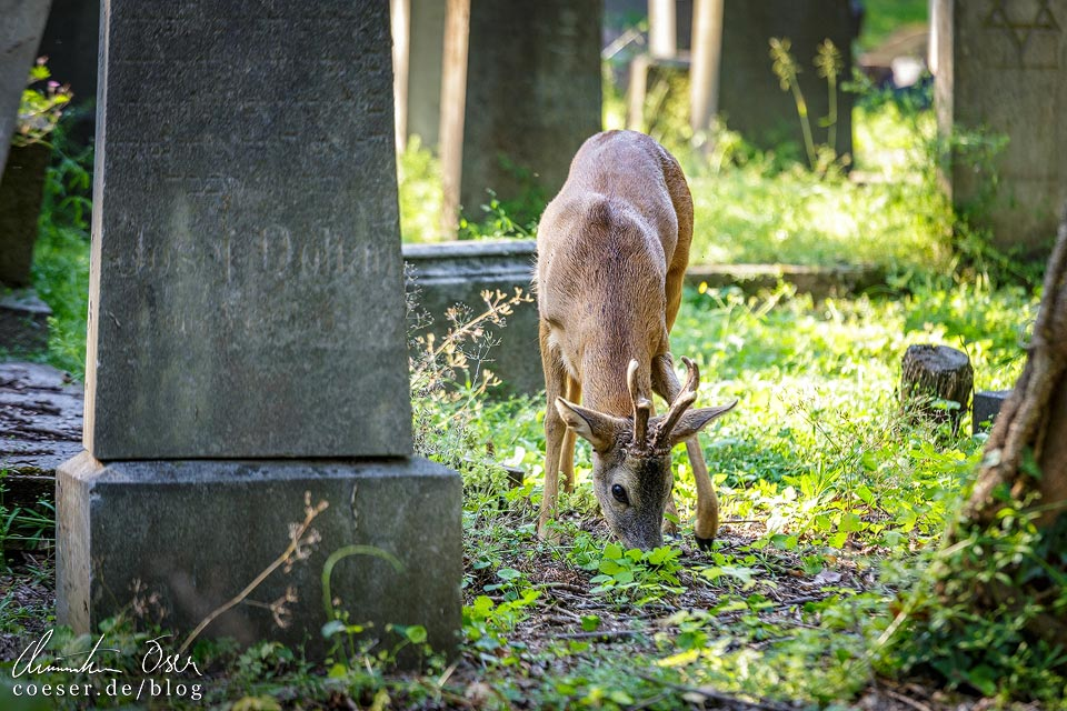 Ein Reh zwischen den Gräbern des Wiener Zentralfriedhofs