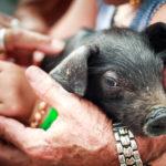 Ein Ferkel auf dem Tiermarkt von Sineu