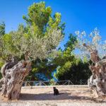Eine Katze zwischen Bäumen vor dem Aussichtsturm Torre del Verger auf Mallorca