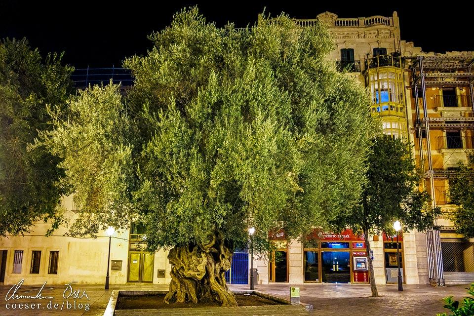 Jahrhunderte alter Olivenbaum auf dem Plaça de Cort in Palma de Mallorca