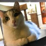Eine der zehn Katzen im Katzencafé Cat'n'Coffee in Klagenfurt
