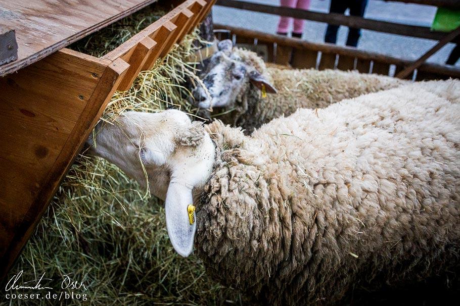 Schafe auf dem Wintermarkt am Pfarrplatz