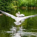 Pelikane im St James's Park in London