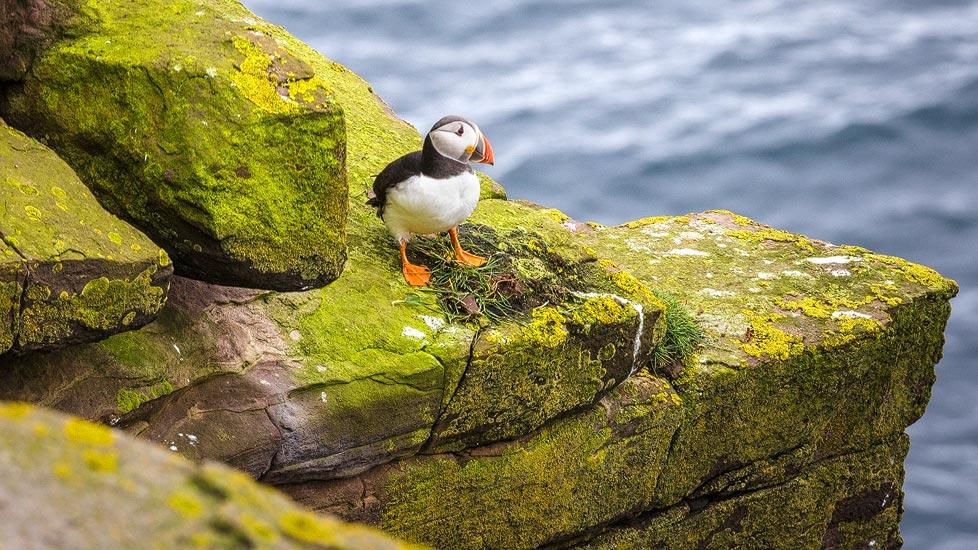 Ein Papageientaucher auf der Insel Handa Island in Schottland