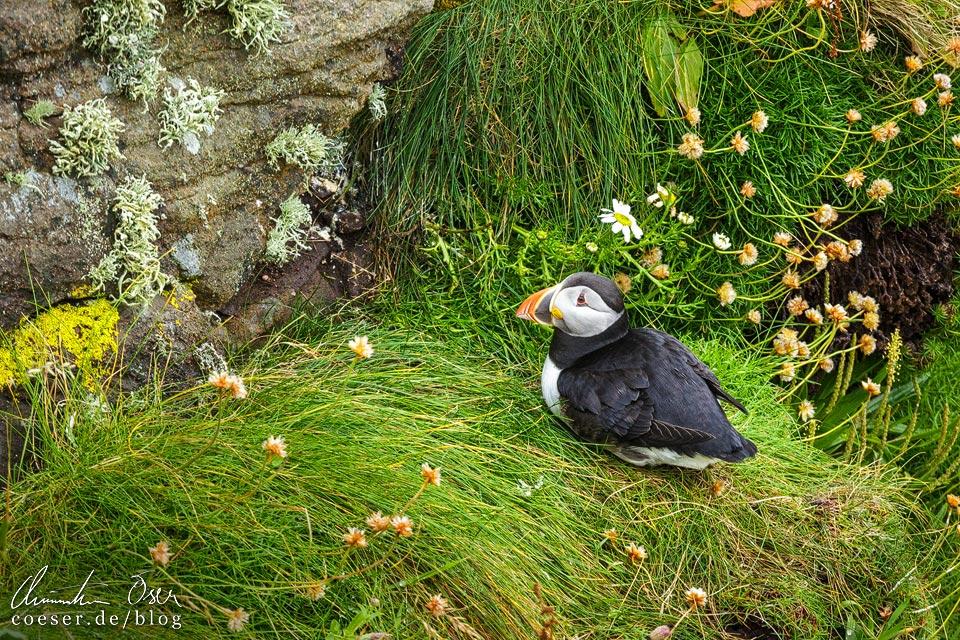 Papageientaucher auf Handa Island in Schottland
