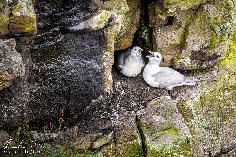 Brütende Eissturmvögel auf Handa Island in Schottland