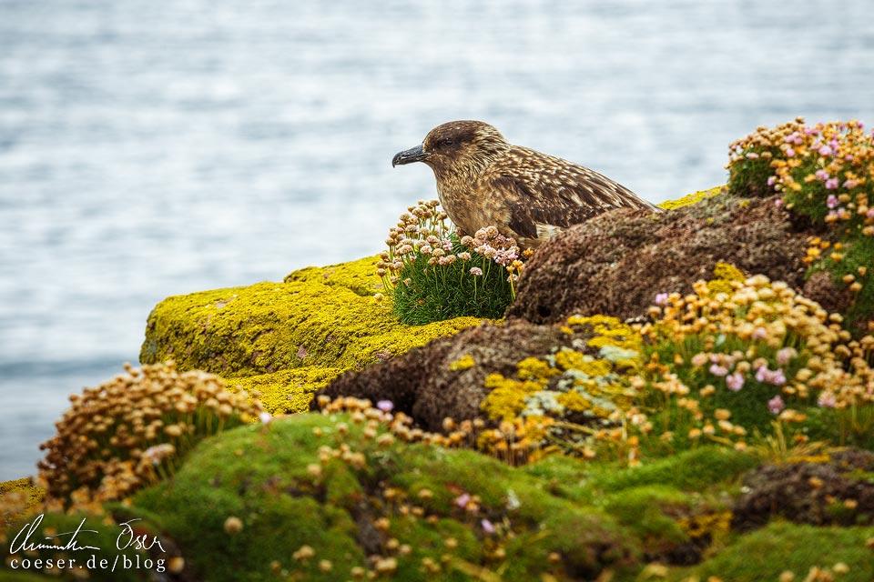 Brütende Große Raubmöwe auf Handa Island in Schottland