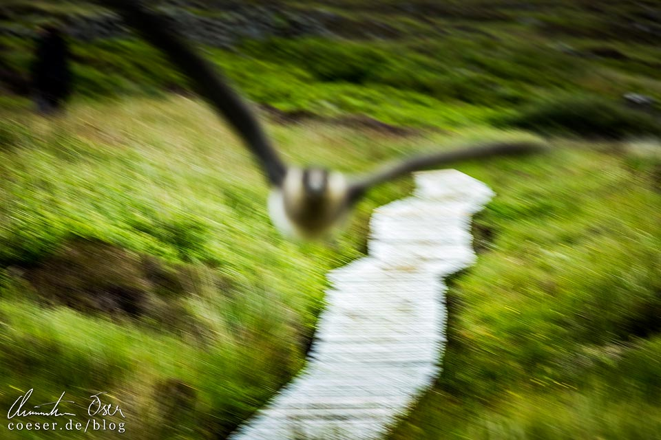 Angriff der Großen Raubmöwe auf Handa Island in Schottland