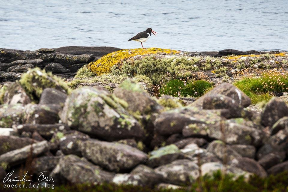 Austernfischer auf Handa Island in Schottland