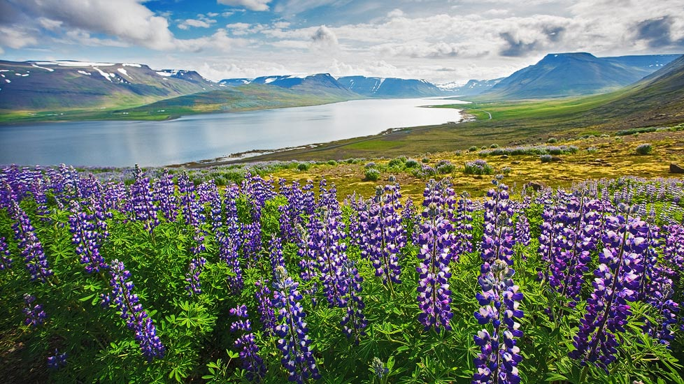Landschaft mit Lupinen auf Island