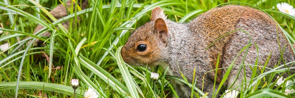 Eichhörnchen im Hyde Park in London