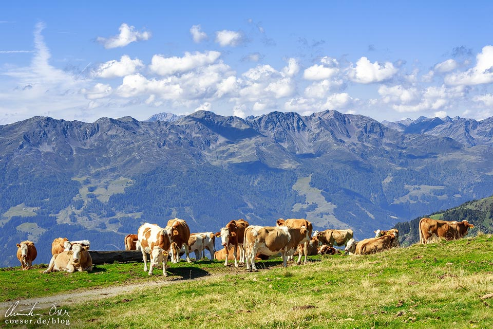 Kühe und Bergpanorama auf dem Zettersfeld in Osttirol