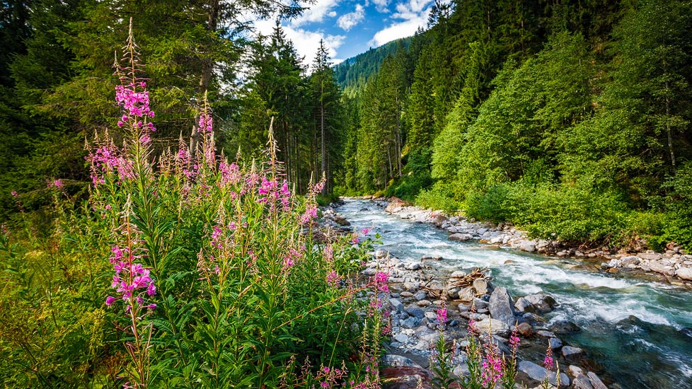 Blumen am Fluss Litz auf dem Kristberg im Montafon