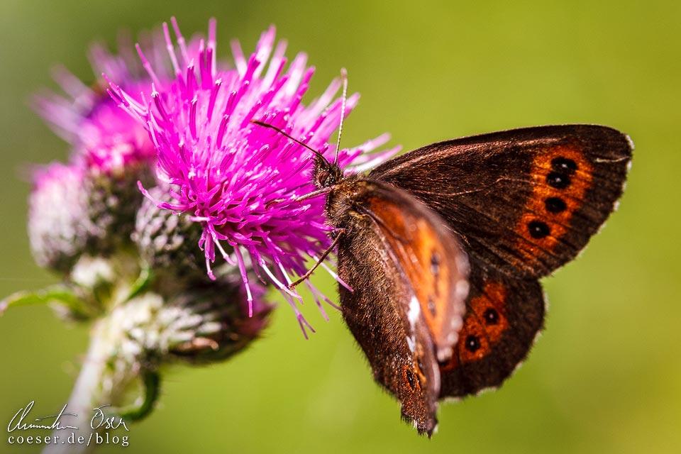 Schmetterling auf einer Blume auf dem Kristberg in Silbertal