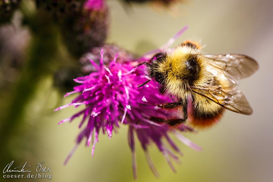 Biene auf einer Blume auf dem Kristberg in Silbertal