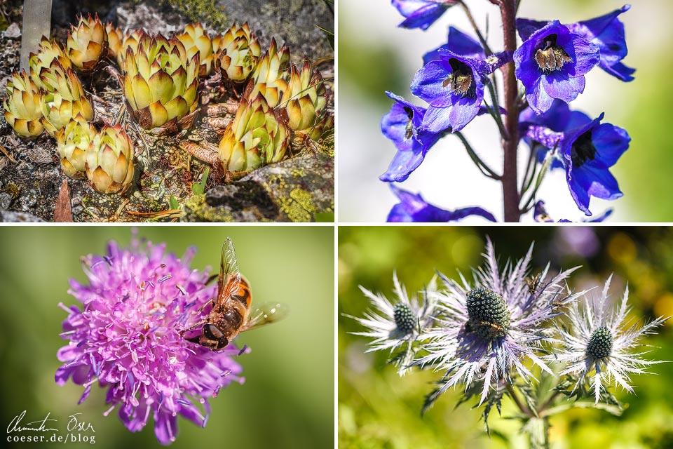 Blumen und Pflanzen im Alpengarten bei der Lindauer Hütte auf dem Latschätzer Höhenweg im Montafon