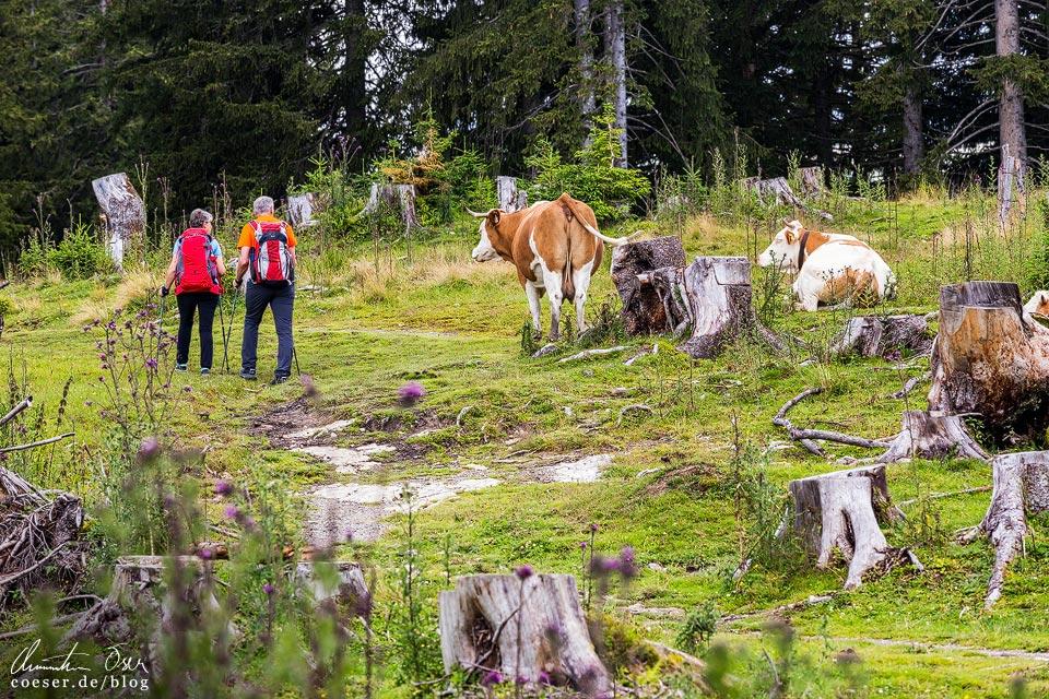 Kühe und Wanderer auf der Postalm