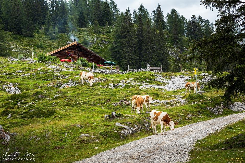 Pitschenberghütte und Kühe auf der Postalm