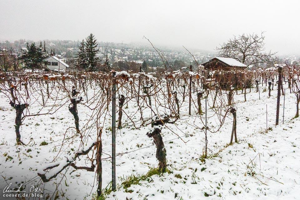 Stadtwanderweg 2 in Wien: Verschneite Weinreben